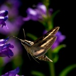 Hummingbird Moth, Joyful Transmutation