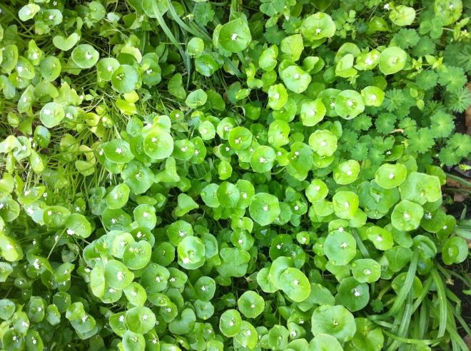 MIner's Lettuce