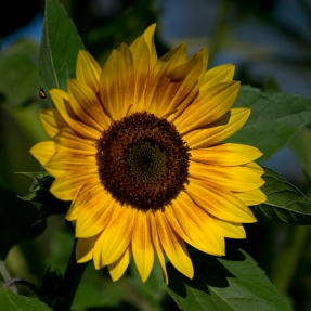 day-56-sunflower-w-ladybug_04822