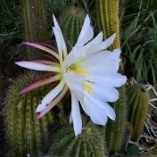 day-58-cactus-blossom_5739