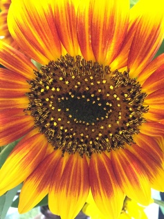 day-67-sunflower-up-close-5974