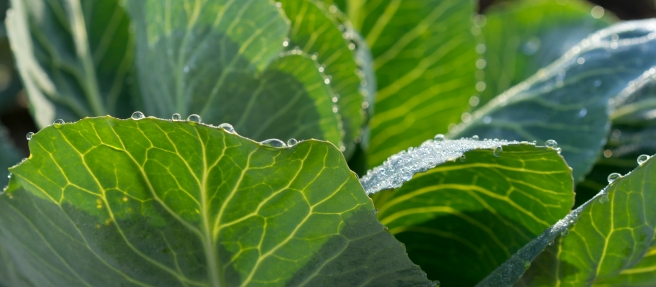 Dew drops on Cabbage Leaves
