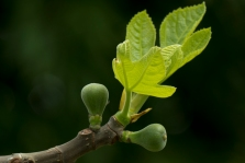 Baby Fig