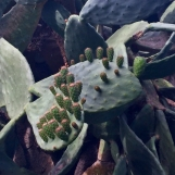 Prickly Pear Mother & Babies