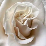 Rose Unfolding