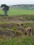 Deer Point Reyes ©2018 LjWinston