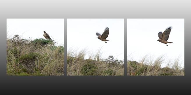 Hawk Triptych ©2018 LjWinston