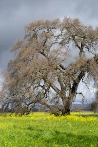 Old Oak Sonoma County ©2018 LjWinston