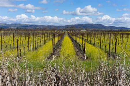 Mustard in Vineyards Sonoma County ©2018 LjWinston