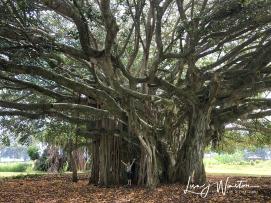 Kauakea @ Banyan Tree