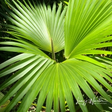 New Palm Frond