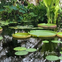 LilyPads at SD Conservatory of Flowers