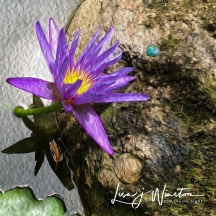 Violet Water Lily