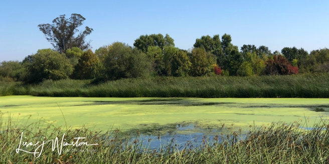 Swamp with Redwing Blackbirds