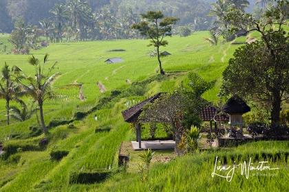 Rice Fields_Bali