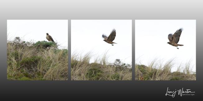 Hawk Triptych