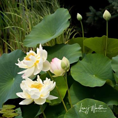 Lotus Breeze