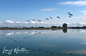 Marin Marshland - Geese In Flight