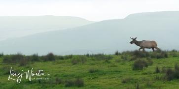 Thule Elk