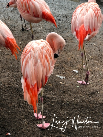 Preening Flamingos