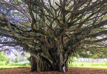 Banyan Tree Hugging