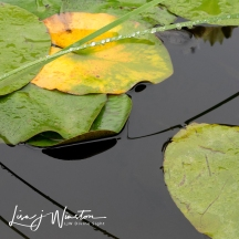 Grass & Lily Pads
