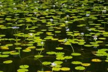 Lily Pond_2