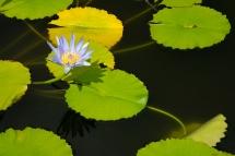 Lily Pond_1
