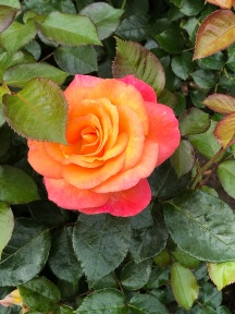 Glowing Yellow-Red Rose